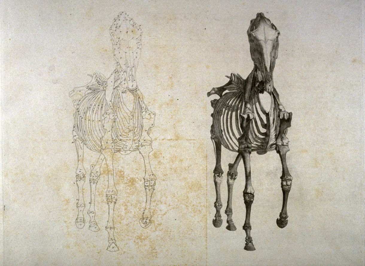 Plate For The Second Anatomical Table Of The Skeleton Of A Horse