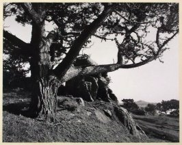 Tree, Vista, Timber Cove (California)