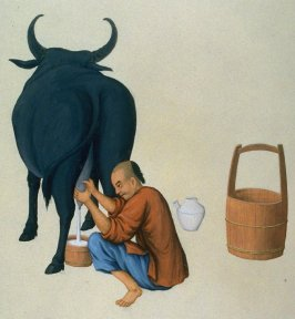 Man milking a cow
