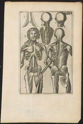 Untitled (Human muscular and skeletal anatomy)