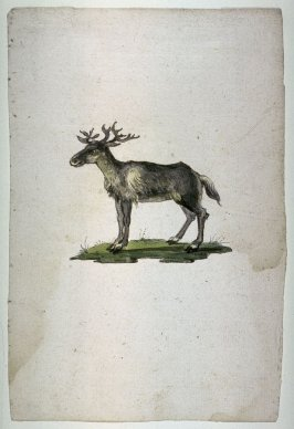 A Stag