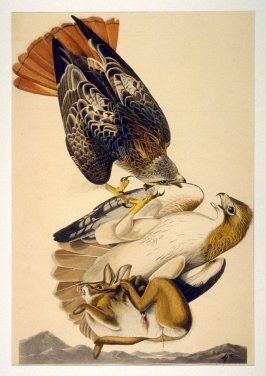 Red Tailed Hawk, from The Birds of America