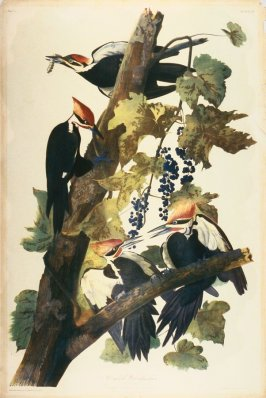 Pileated Woodpecker, from The Birds of America