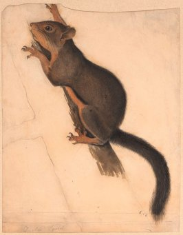 Douglass' Squirrel, study for plate 48 in the book The Viviparous Quadrupeds of North America by John James Audubon and Rev. John Bachman (New York: John James Audubon, 1845-1848)