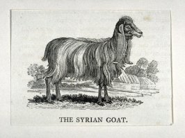 "The Syrian Goat from ""History of Quadrupeds"" 2nd Ed (1811)"