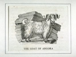 "The Goat of Angora from ""History of Quadrupeds"" 2nd Ed."