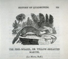 "The Pine-Weasel, or Yellow-Breasted Martin from Bewick's ""History of Quadrupeds"" (1824 ed.)"
