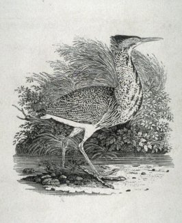 The Bittern, from Bewick's 'A History of British Birds', Vol II