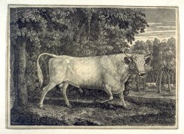 The Wild Bull at Chillingham
