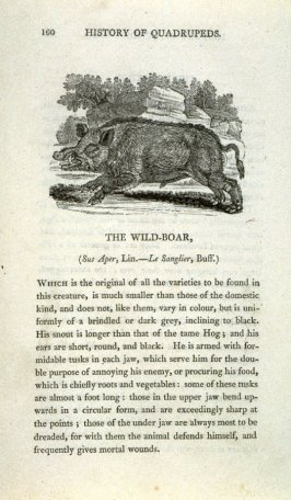 "The Wild Boar from ""History of Quadrupeds"" 2nd Ed."