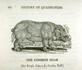 "The Common Boar from ""History of Quadrupeds"" 2nd Ed. (1811)"
