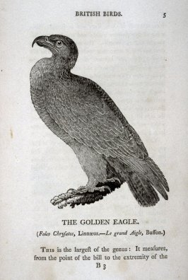The Golden Eagle, on page 5 in the book , History of British Birds (Newcastle: Beiley & Bewick … , 1797), vol. 1