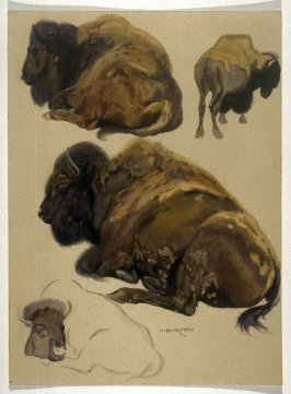 Studies of Buffalo