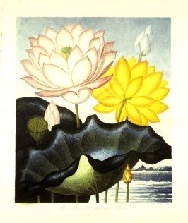 The Sacred Egyptian Bean, from the Robert Thornton's 'The Temple of Flora or Garden of Nature'