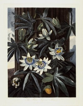 The Blue Passion Flower, from the book 'The Temple of Flora or Garden of Nature'