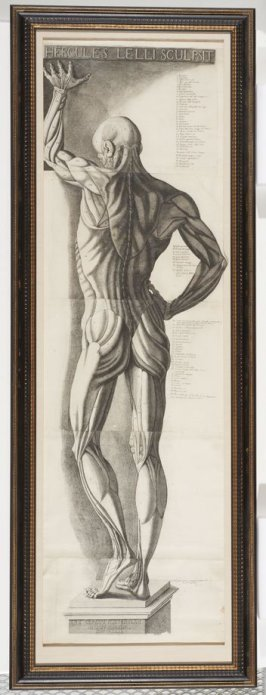 Hercules II, an Anatomical View, after a sculpture by Ercole Lelli