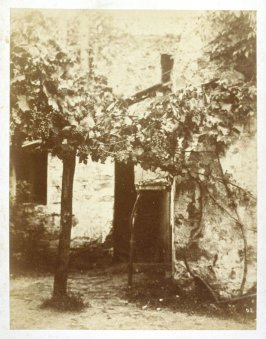 Vine with Bunches of Grapes in the Farmyard