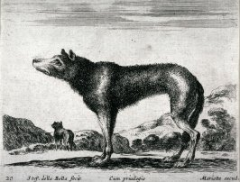 A Fox, from the series Diversi Animali