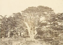 """The Largest of the Cedars of Lebanon,"" in the book Egypt and Palestine, 2 vols., by Francis Frith (London: James S. Virtue, 1858-1859); volume II of II"