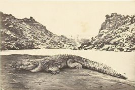 """Crocodile on a Sand-Bank,"" in the book Egypt and Palestine, 2 vols., by Francis Frith (London: James S. Virtue, 1858-1859); volume II of II"