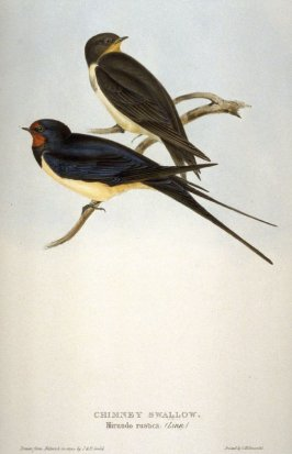 Chimney Swallow - Nirundo rustica