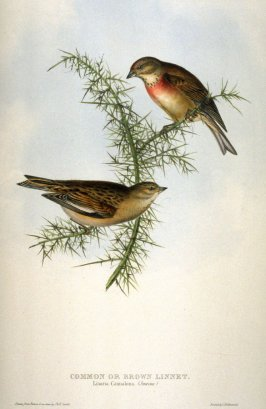 Common or Brown Linnet - Linaria Cannabina