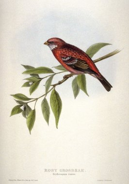 Rosy Grosbeak - Erythrospiza rosea