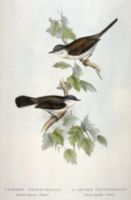 Common Whitethroat / Lesser Whitethroat