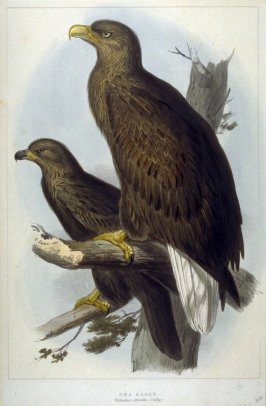 Sea Eagle - Haliaeetus albicilla (Selby)