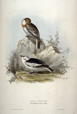 Snow Bunting - Plectrophanes nivales