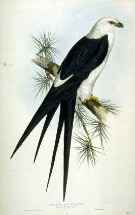 Swallow Tailed Kite - Nauclerus furcatus