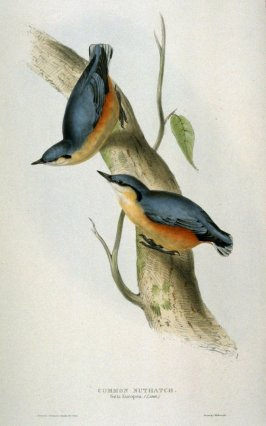 Common Nuthatch - Sittta Europea