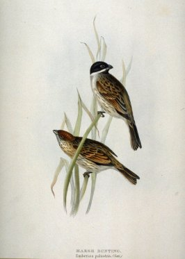 Marsh Bunting - Emberiza palustris