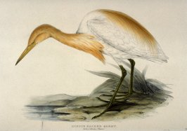 Rufous Backed Egret - Ardea rufsata