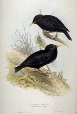 Sardinian Starling - Sturnus unicolor