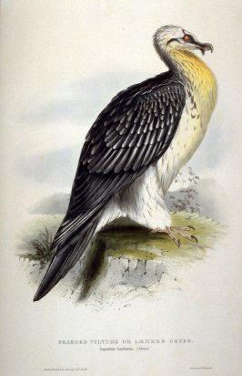 Bearded Vulture or Loemmer Geyer - Gypaetus barbatus