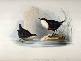 Water Ouzel or Dipper - Cinclus aquaticus