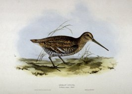 Great Snipe - Scolopax major