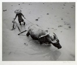 Hunanese peasant plowing his irrigated rice paddy with a water buffalo and the primitive wooden plow used in China since ancient times.