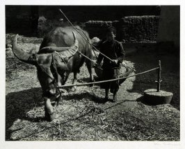 A small peasant boy drives a water buffalo, blind folded one eye and hitched to a stone grinder, to break up bean stocks which will be used as pig fodder.