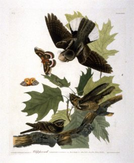 Whip-poor-will, pl. 82 from John James Audubon's 'The Birds of America' (London: the author, 1827-1839)