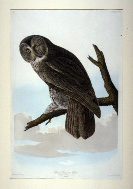 Great Cinereous Owl, plate 351 from John James Audubon's 'The Birds of America' (London: the author, 1827-1839)