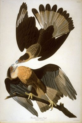 Brazilian Caracara Eagle, plate 161 from John James Audubon's 'The Birds of America' (London: the author, 1827-1839)