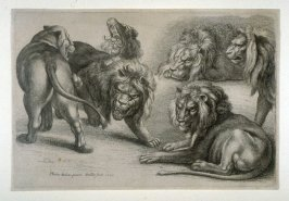 Five Lions and a Lioness (Lions)