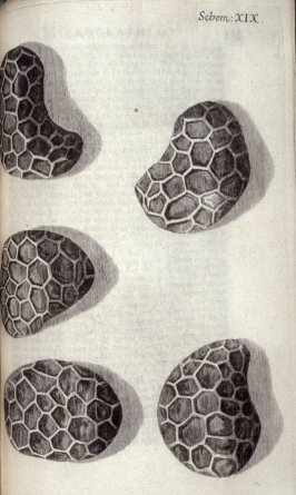 Scheme XIX, twentieth plate, opposite page 158 in the book, Micrographia: or some physiological Descriptions of minute Bodies made by Magnifying Glasses. With Observations and Inquiries thereupon (London: printed by Jo. Martyn and Ja. Allestry, printers t