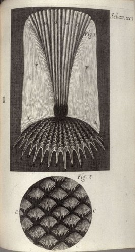 Scheme XXI, twenty-first plate, opposite page 162 in the book, Micrographia: or some physiological Descriptions of minute Bodies made by Magnifying Glasses. With Observations and Inquiries thereupon (London: printed by Jo. Martyn and Ja. Allestry, printer