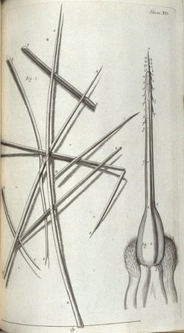 Scheme XVI, twenty-second plate, opposite page 164 in the book, Micrographia: or some physiological Descriptions of minute Bodies made by Magnifying Glasses. With Observations and Inquiries thereupon (London: printed by Jo. Martyn and Ja. Allestry, printe