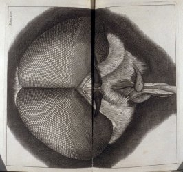Scheme XXIV: Head of a Drone Fly, in the book, Micrographia: or some physiological Descriptions of minute Bodies made by Magnifying Glasses, (London: Joseph Martyn and James Allestry)