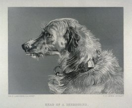 Head of a Deerhound