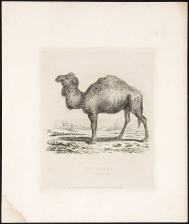 The Camel Zoological Gardens, illustration from 'Characteristic sketches of animals, principally in the zoological gardens, Regent's Park' (1832)